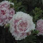 DSC_4201 very double pink Peonies Jun 19