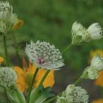 DSC_4563 Masterwort & Globeflower