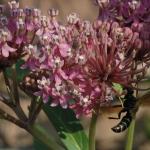DSC_5231 wasp on milkweed FR