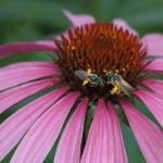 DSC_5276 bees on coneflower