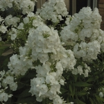 DSC_5492 Phlox 'David' Fr Aug 6