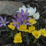 DSC_7679 _crocus Apr 8